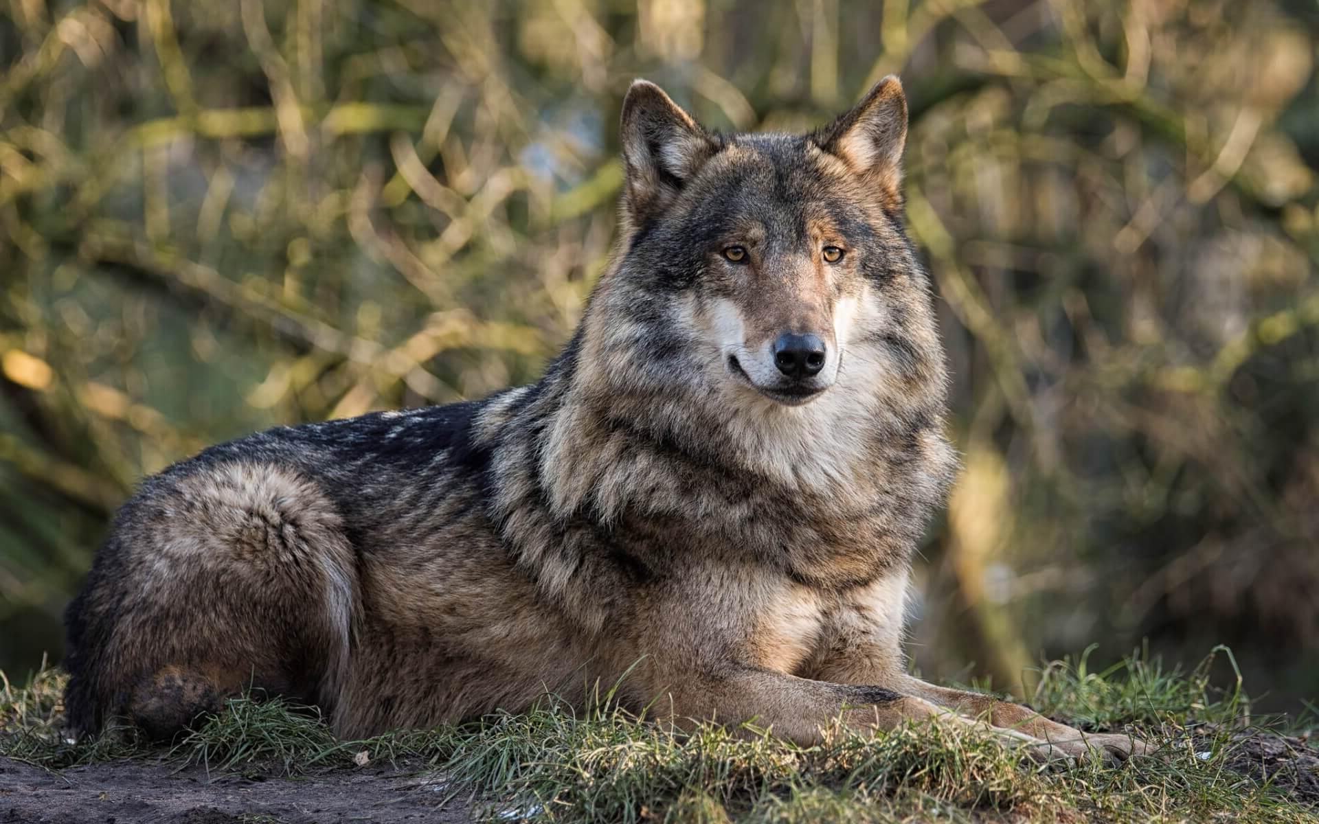 картинки серые волки на обои неудачной рекламы